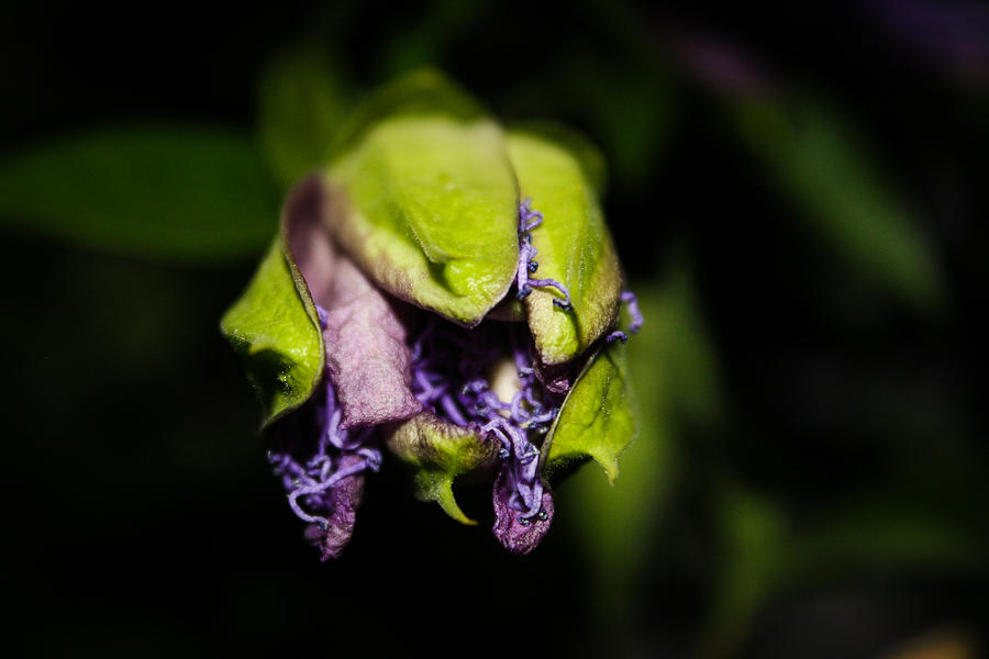 Passion Flower Photograph - The Passion by Amber Dopita