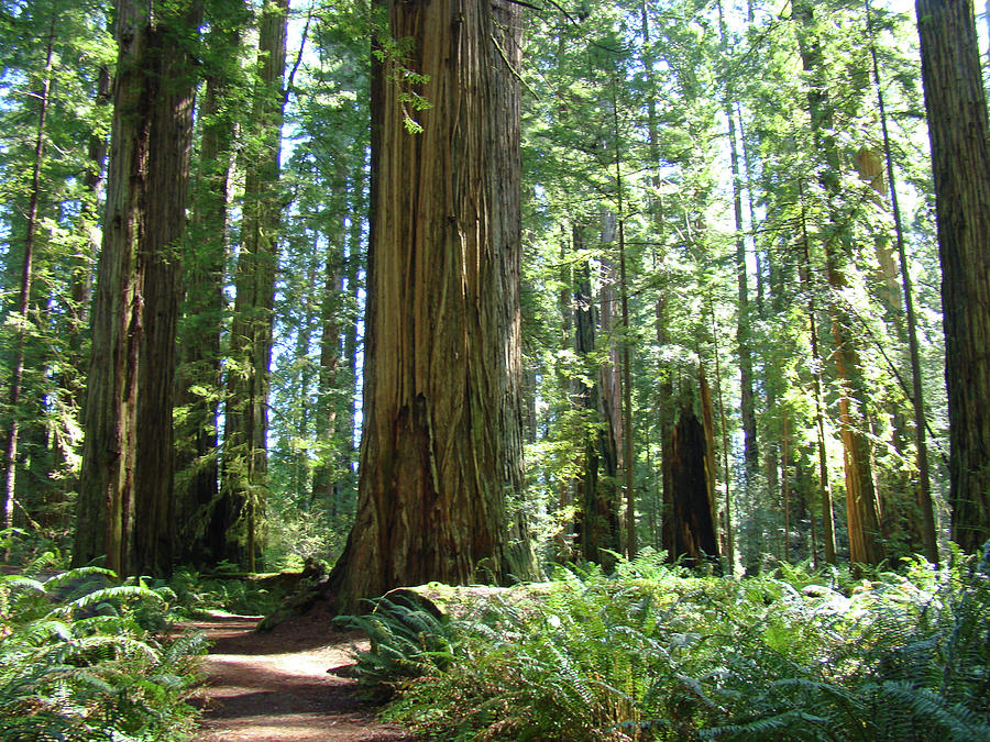 The Path, Redwoods For Gretchen Photograph