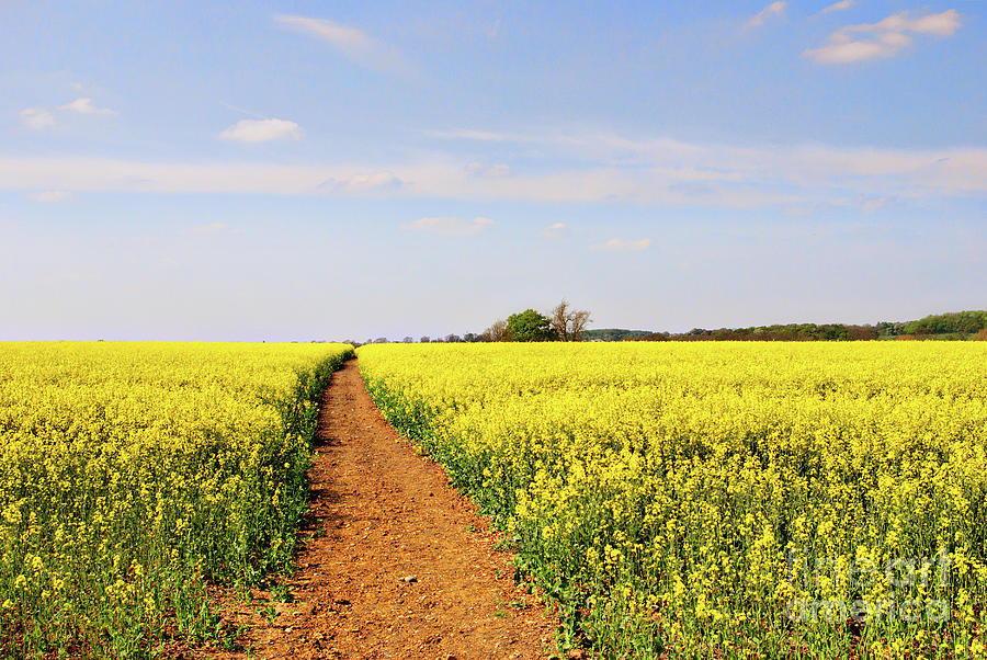 Canola Photograph - The Path To Bosworth Field by John Edwards