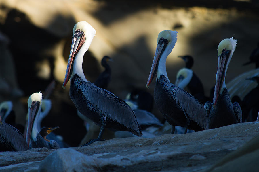 Pelican Photograph - The Pelican Pose by Nathaniel Kidd