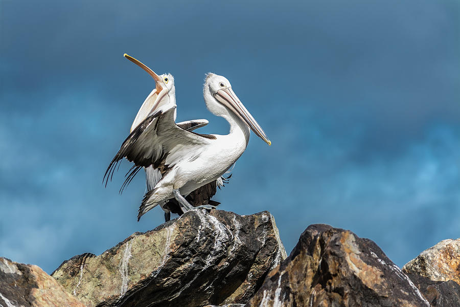 The Pelicans by Racheal Christian