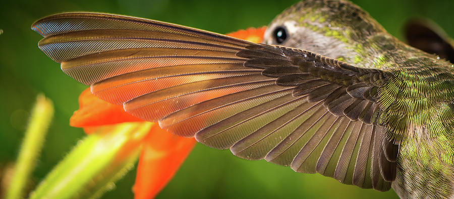 Animal Photograph - The Perfect Left Wing Of A Hummingbird by William Freebilly photography