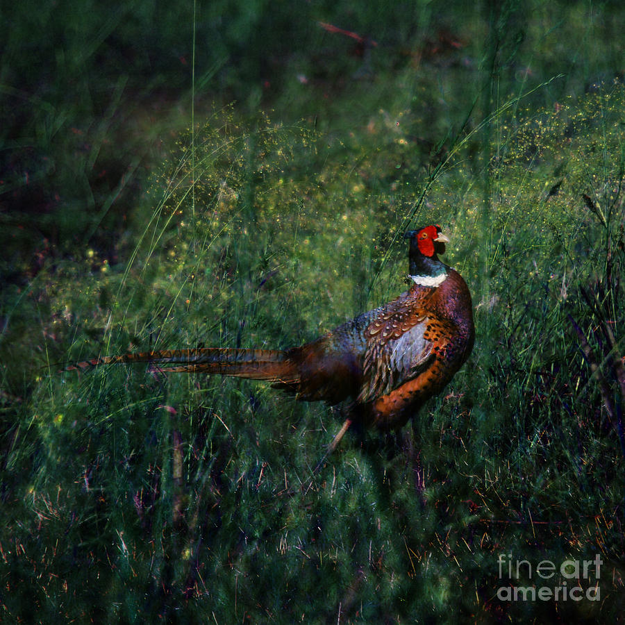 Pheasant Photograph - The Pheasant In The Autumn Colors by Angel Ciesniarska