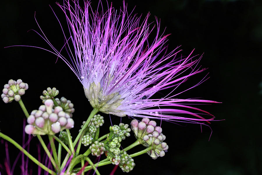 The Pink Mimosa Flower Photograph By Jc Findley