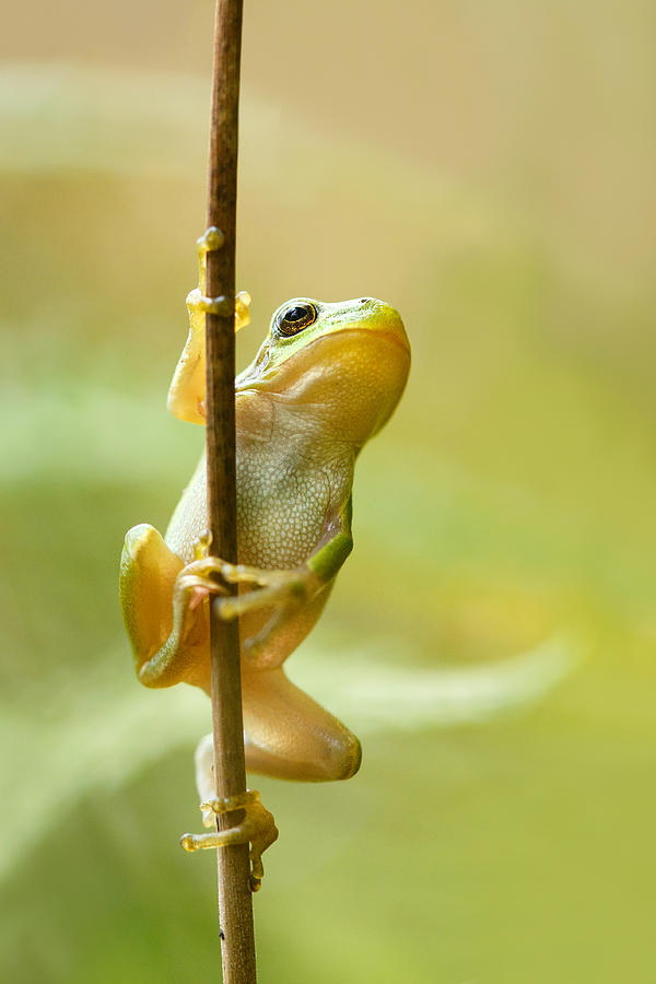 The Pole Dancer - Climbing Tree frog Photograph by ...