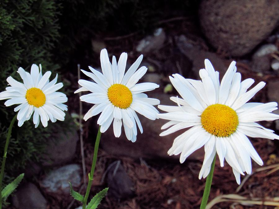 Daisies Photograph - The Power Of Three by Stephanie Schneider