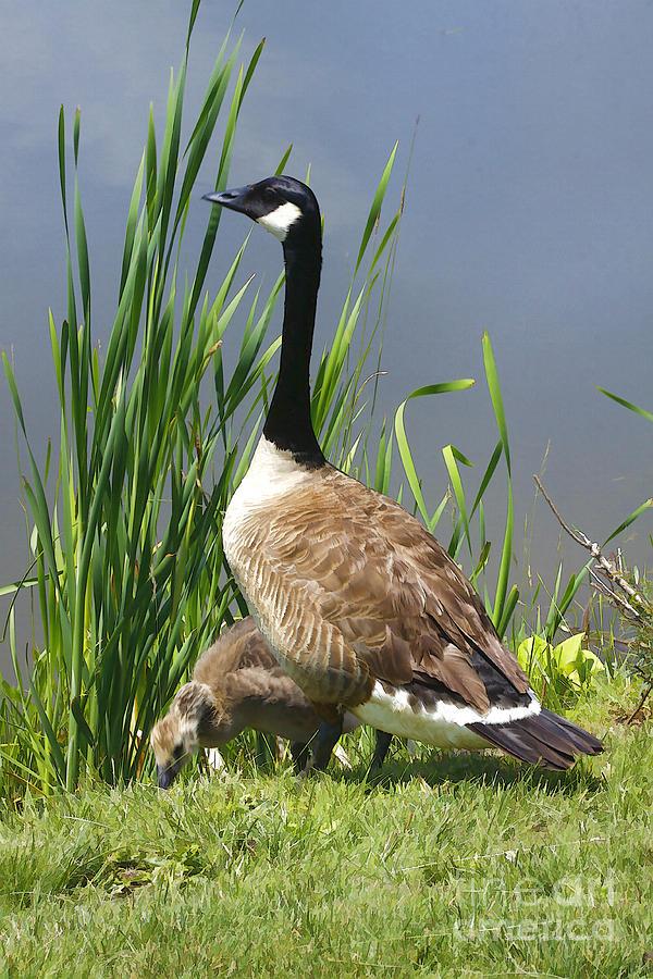 Goose Photograph - The Protector by Deborah Benoit