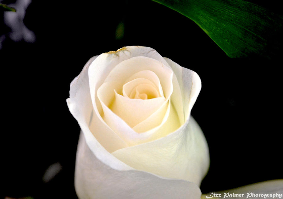 White Rose Photograph - The Purest Of Them All by Elizabeth Palmer