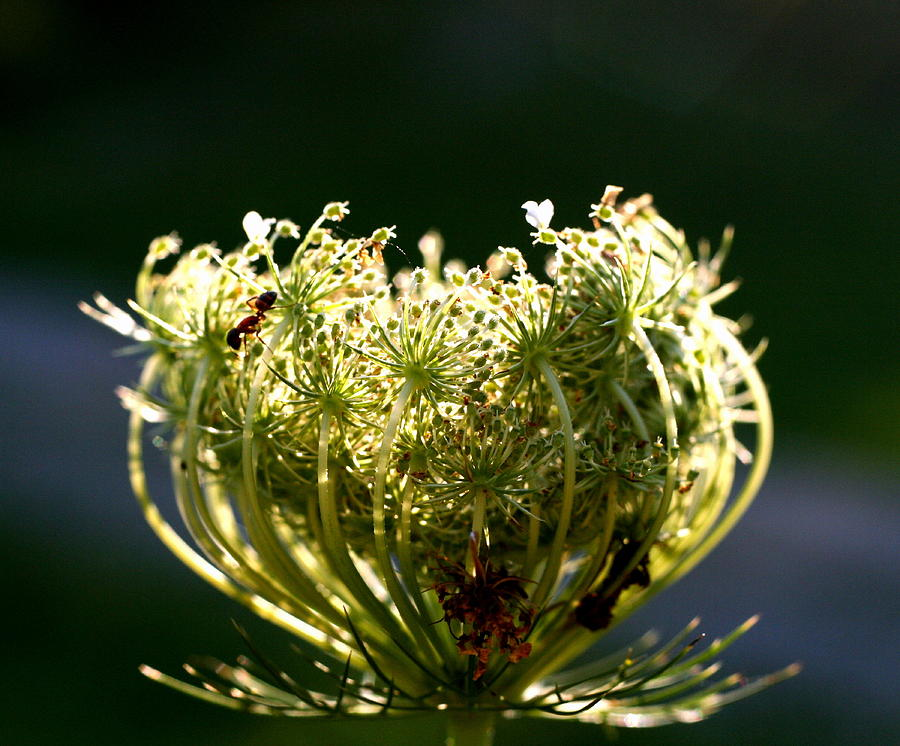 Queen Anne's Lace Photograph - The Queen by Diane Merkle