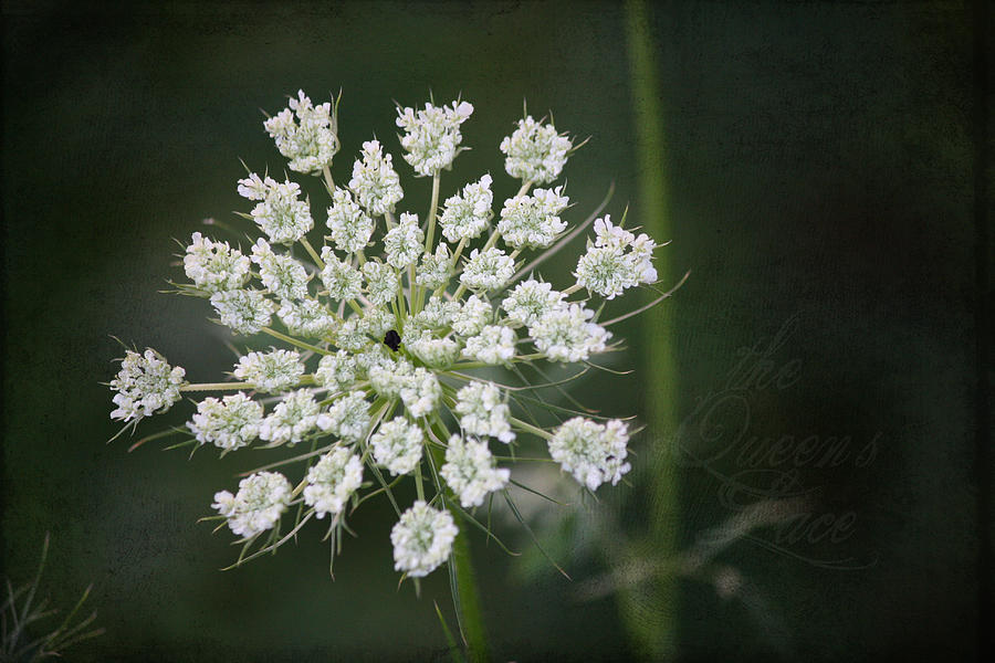 Queen Anne's Lace Photograph - The Queens Lace by Teresa Mucha