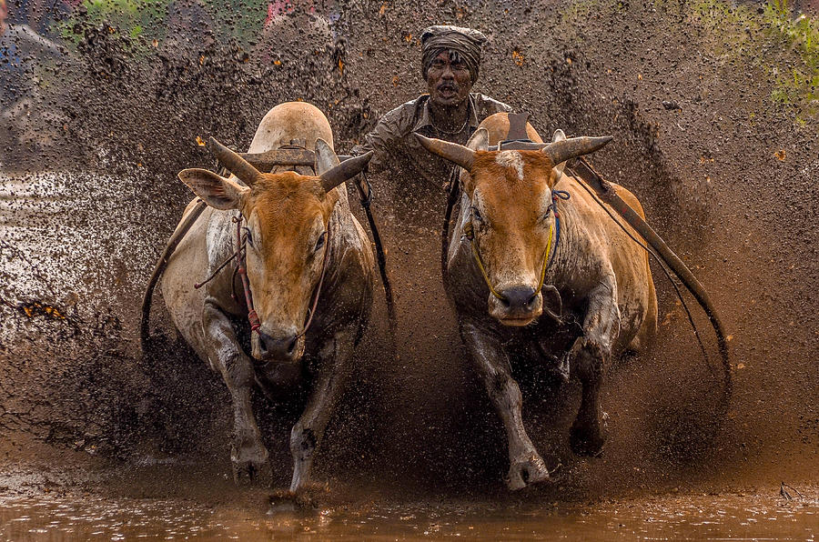 Sport Photograph - The Racing Cows by Media Hendriko