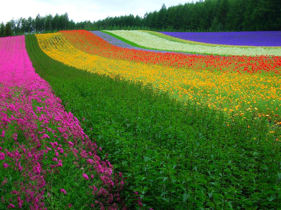 Flowers Photograph - The Rainbow Of Flower At Hokkaido by Michael Lai