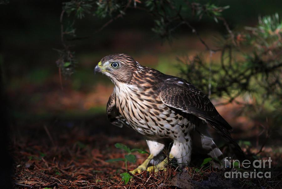 Hawk Photograph - The Raptor by Mircea Costina Photography