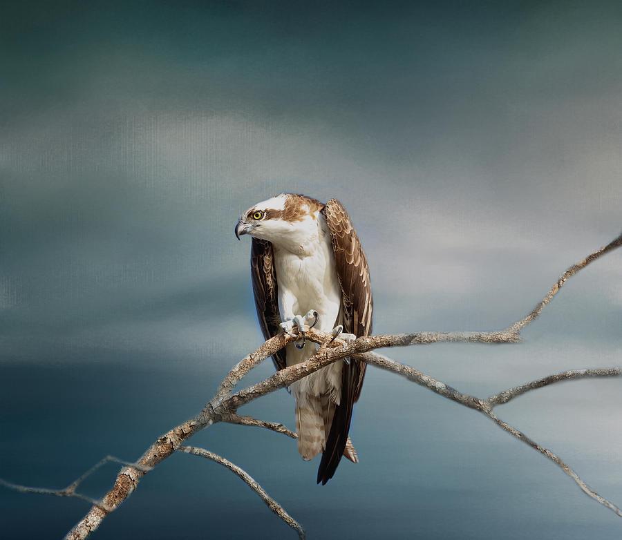 Osprey Photograph - The Raptor - Osprey by Kim Hojnacki