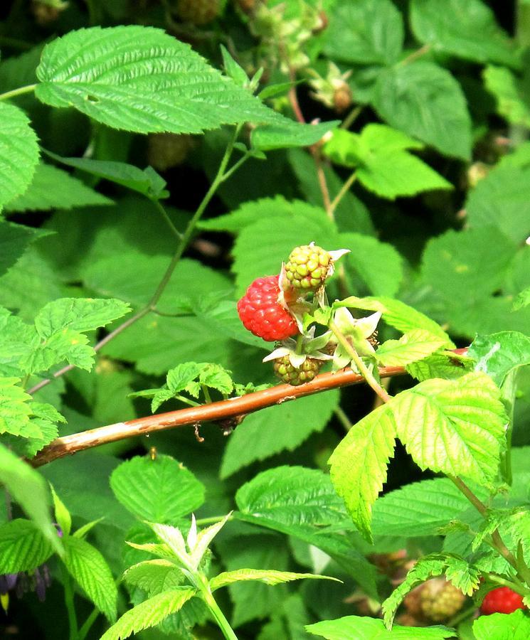 Rasberry Photograph - The Rasberry Patch by Ian  MacDonald
