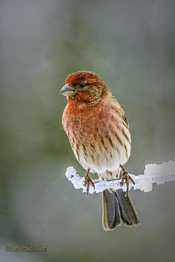 Animals Photograph - The Red Finch by LeeAnn McLaneGoetz McLaneGoetzStudioLLCcom