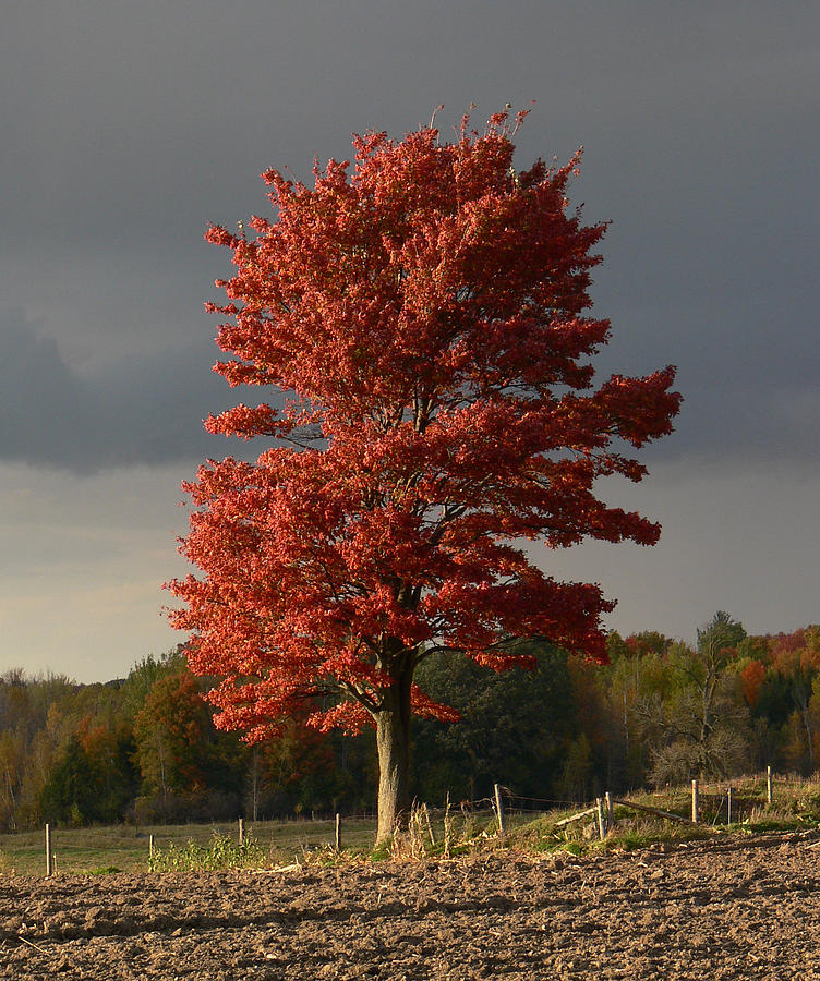 The Red Tree  by Natalie LaRocque