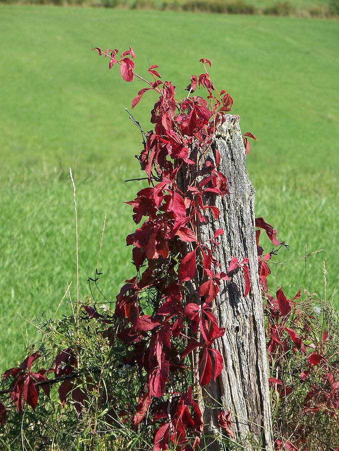 Vine Photograph - The Red Vine - Photograph by Jackie Mueller-Jones