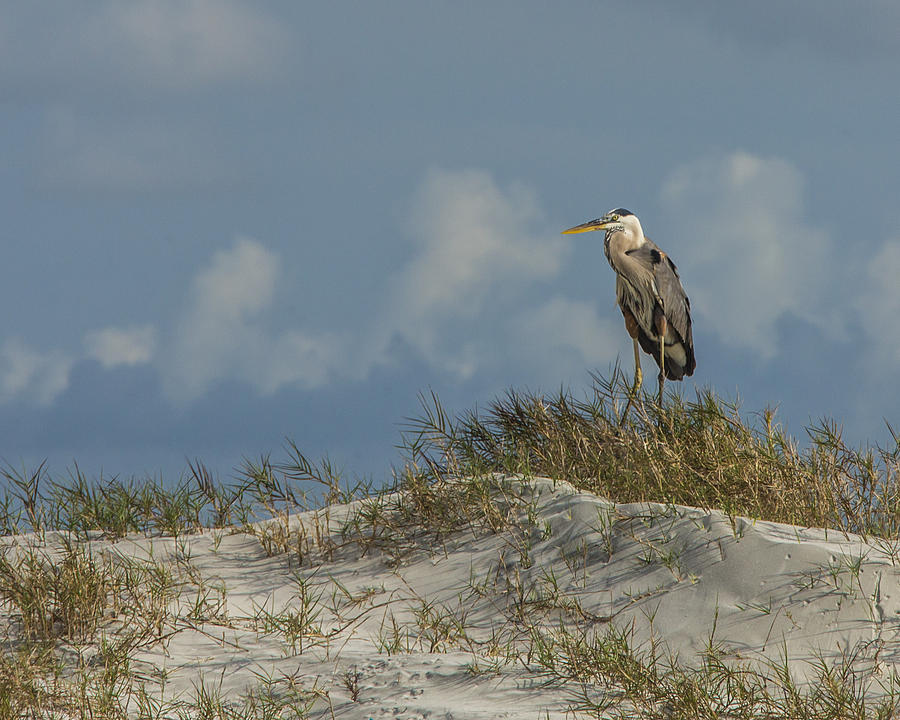 The Face Of God Photograph - The Regal Great Blue Heron by Paula Porterfield-Izzo