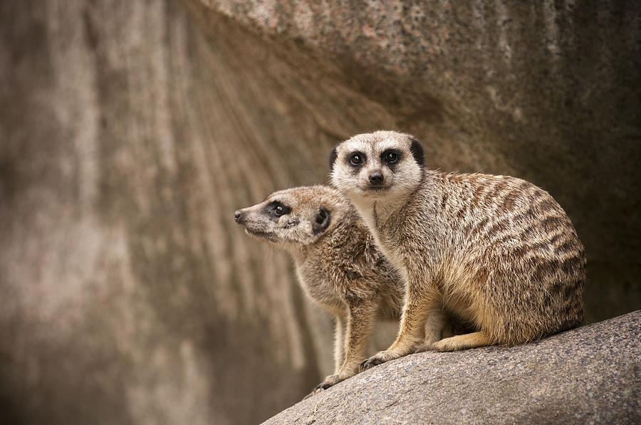Meerkat Photograph - The Rock Of Meerkats by Chad Davis