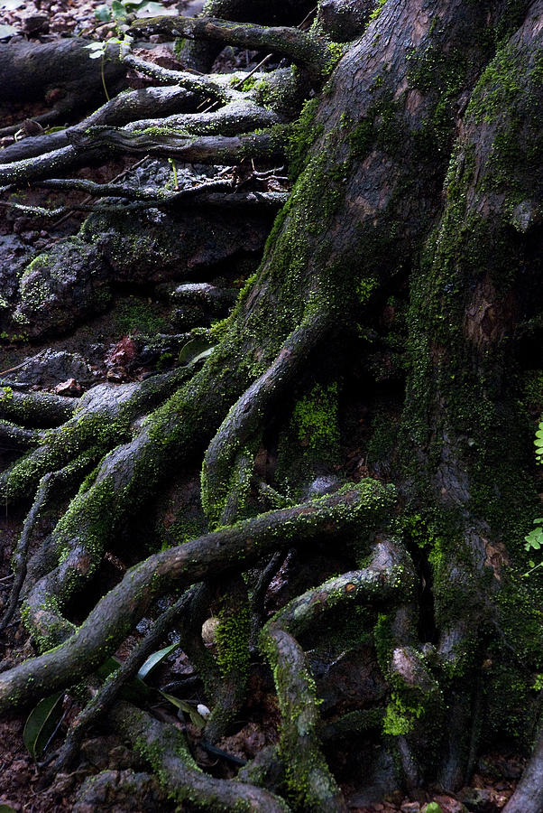 Root Photograph - The Root by Pramod Bansode
