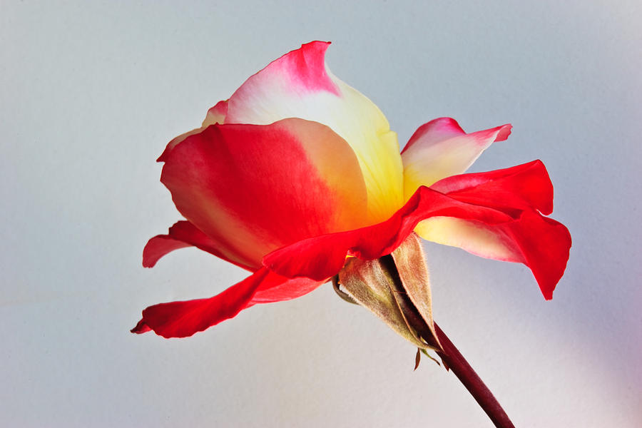 Flower Photograph - The Rose by Charlie Hunt