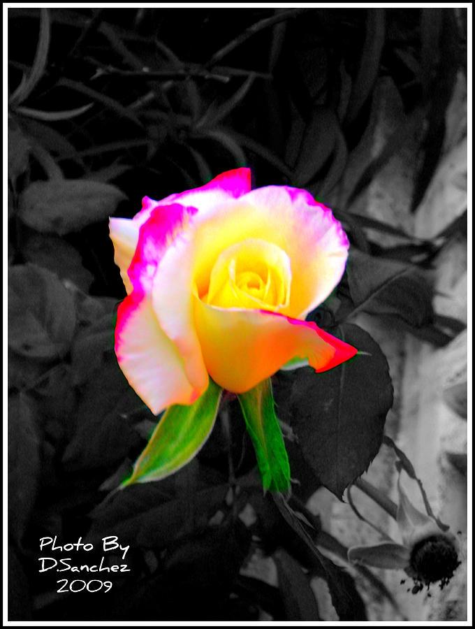 Flower Photograph - The Rose by Doug Sanchez