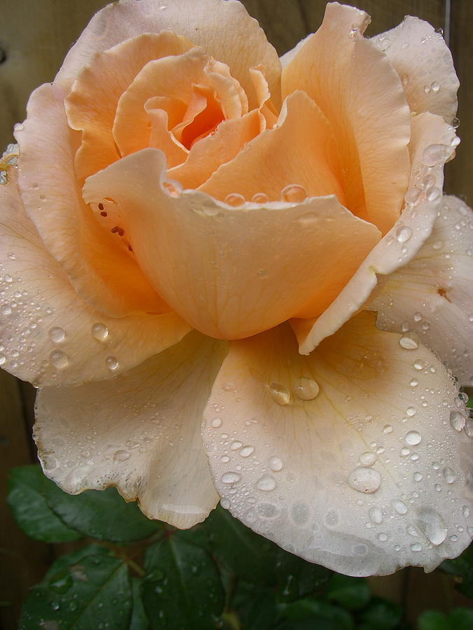 Rose Photograph - The Rose by Kimberly Morin