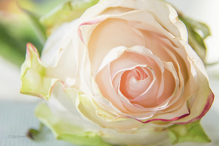 The Rose Photograph