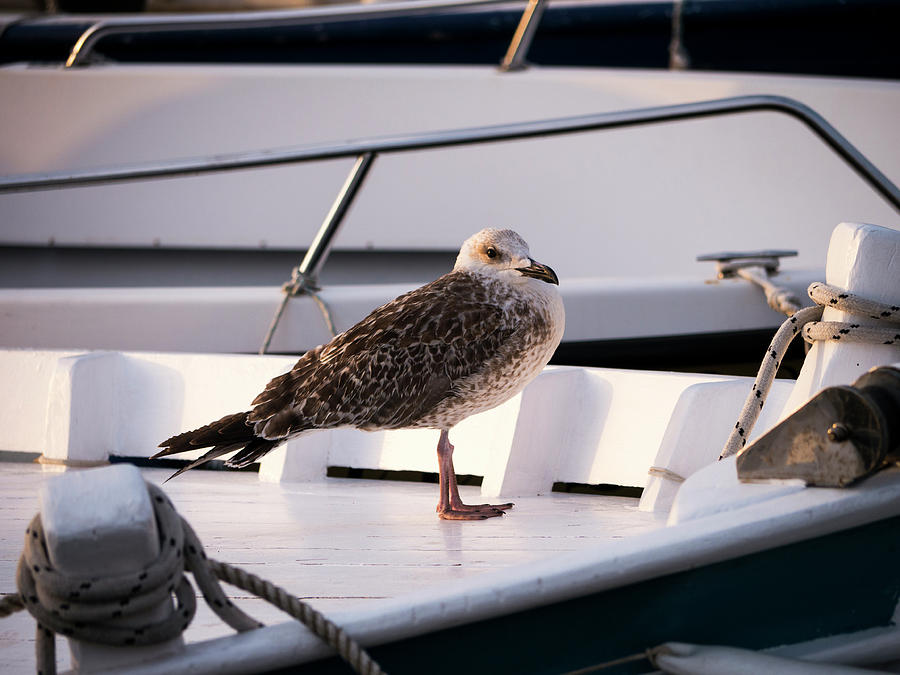 Seagull Photograph - The Seagull by Rae Tucker