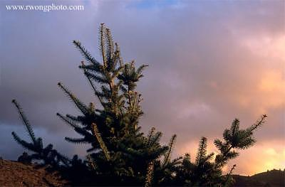 Pine Tree Photograph - The Second Coming Young Pine Tree Near Half Moon Bay California by Richard Wong