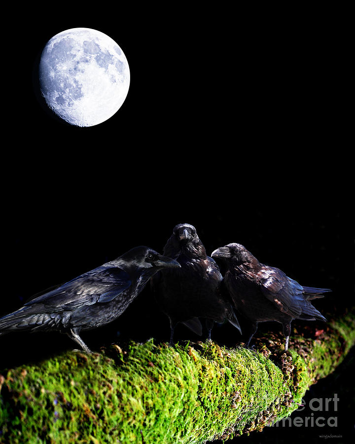 Bird Photograph - The Secret Society . Ravens Of The Night Under The Moon by Wingsdomain Art and Photography