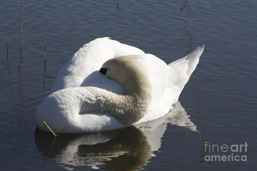 The Sleeping Swans >> The Sleeping Swan Photograph By Adam Schneider