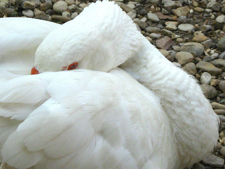 The Sleeping Swans >> The Sleeping Swan