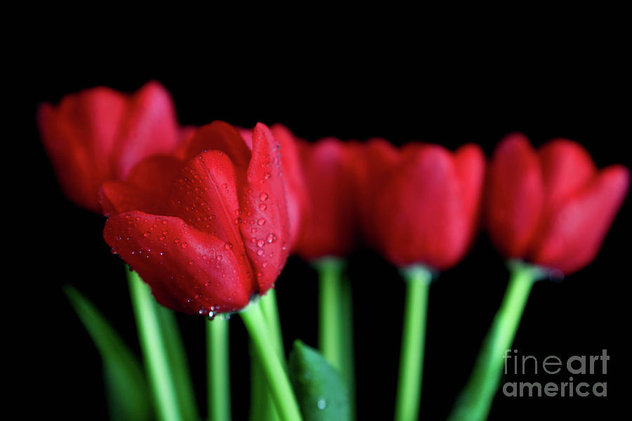 Colors Photograph - The Softer Tulips by Tracy Hall