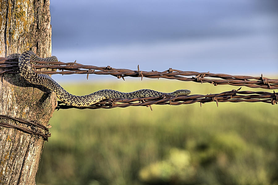Speckled Kingsnake Photograph - The Speckled Kingsnake  by JC Findley