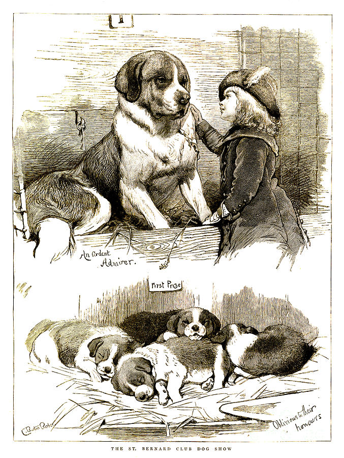 St Bernard Drawing - The St Bernard Club Dog Show by Charles Burton Barber