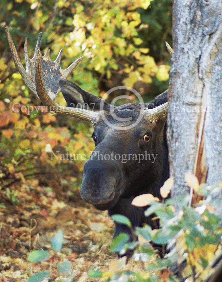 Moose Photograph - The Stare -- Bull Moose  by Jodi Gaylord