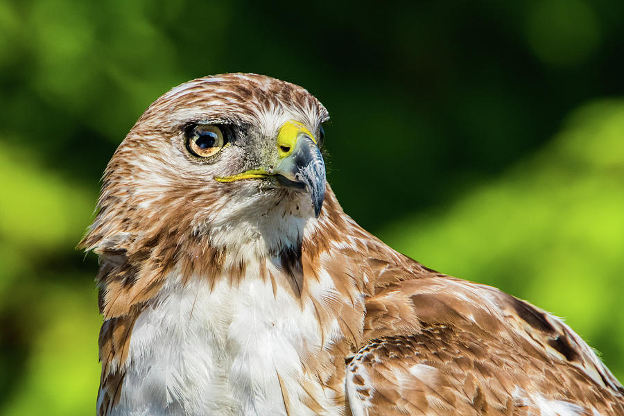 The Stare - Red Tail Hawk by Kenneth F Konjevich
