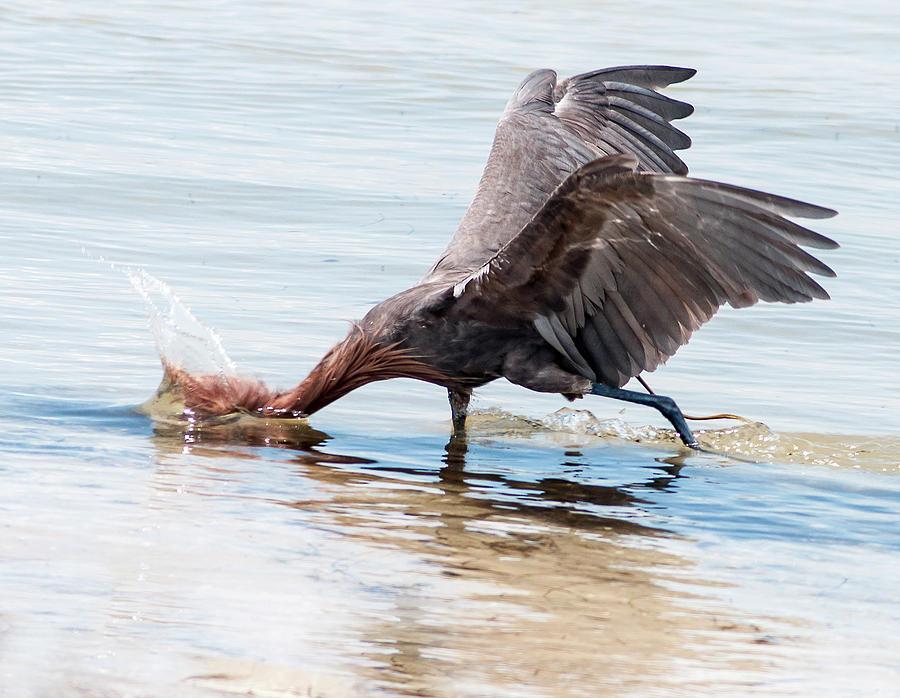 Reddish Egret Photograph - The Strike by Norman Johnson