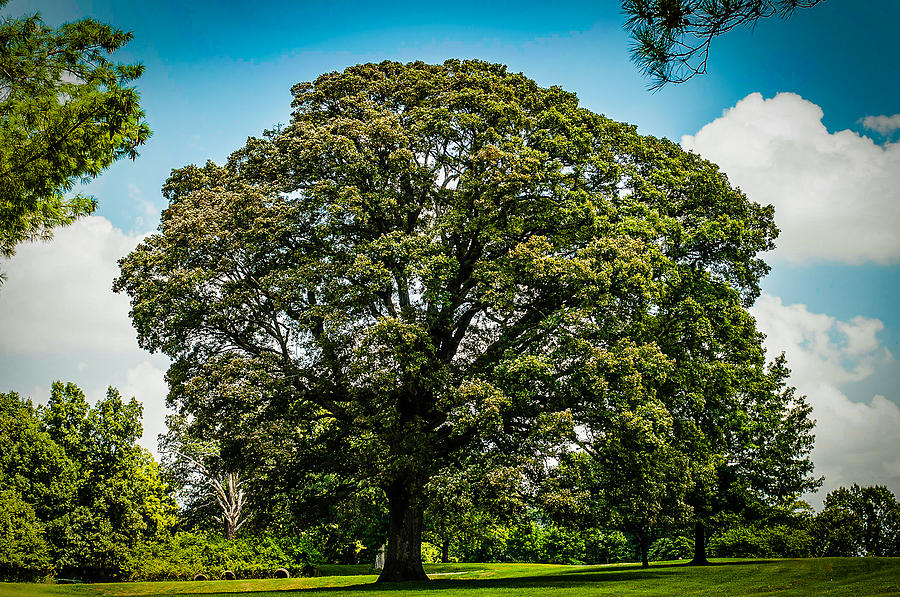 Tree Photograph - The Summer Tree by Kristy Creighton