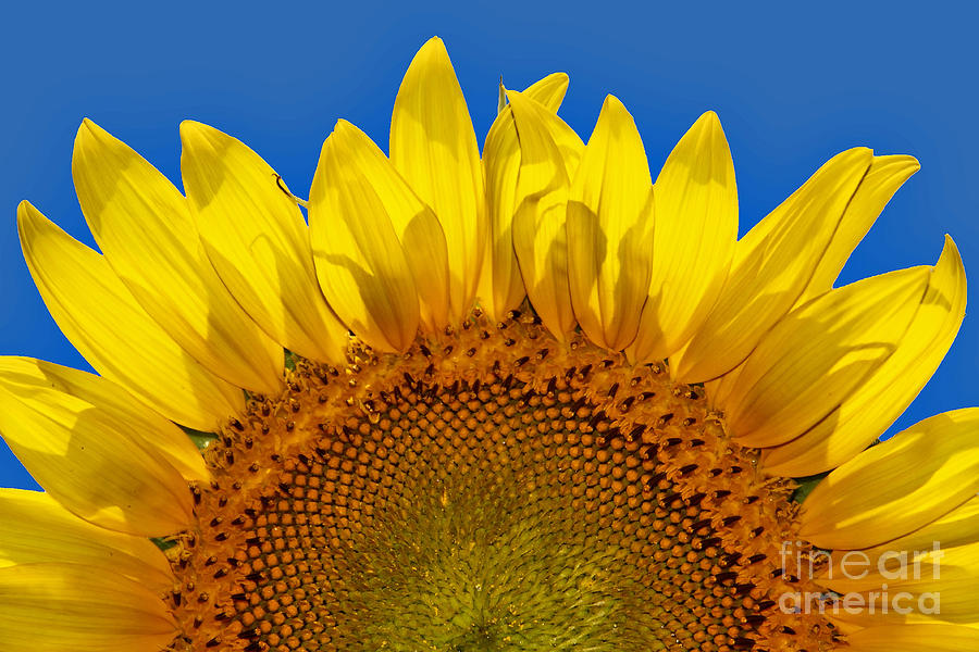 Sunflower Photograph - The Sun Also Rises by Wendy Mogul