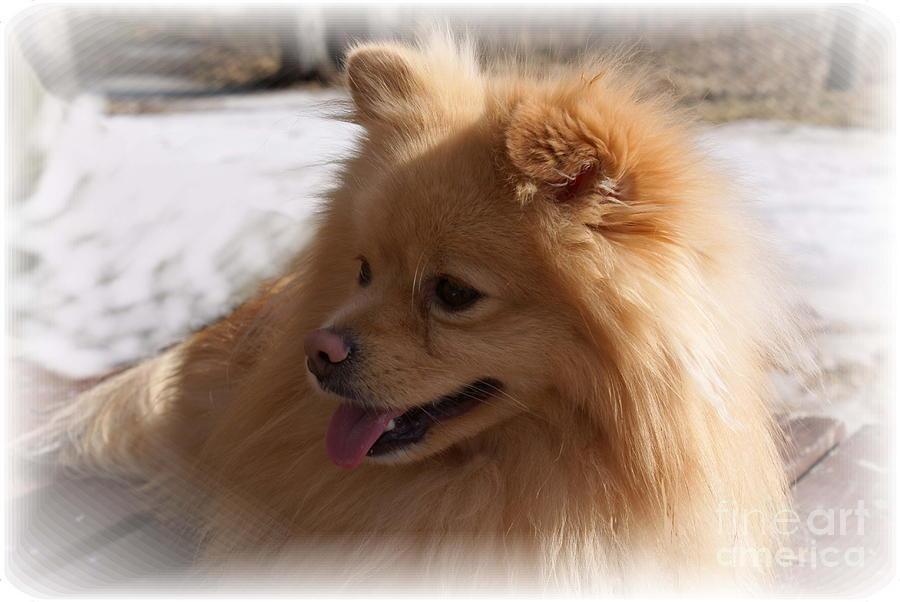 Pomeranian Dog Photograph - The Sun On My Back by Joanne Smoley