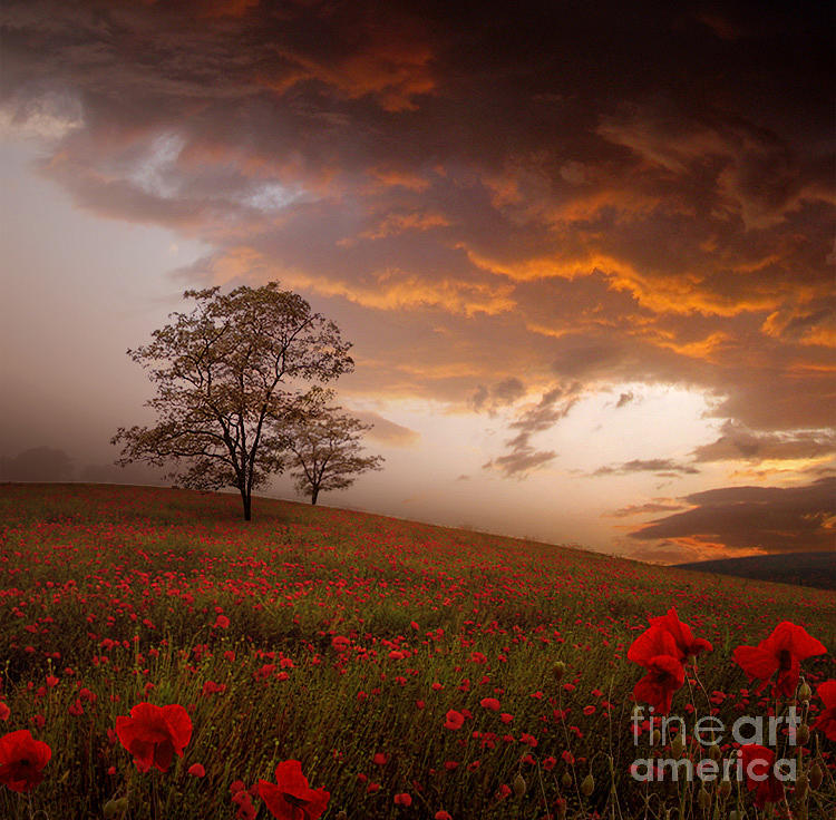 The Sunset Of The Poppies Photograph by Stoyanka Ivanova
