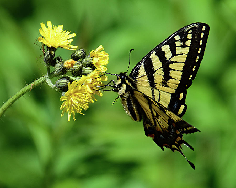 The Swallowtail by Ann Keisling