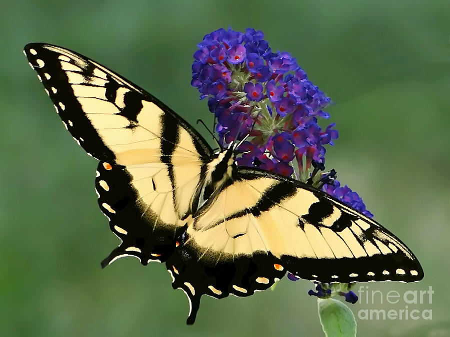 Butterfly Photograph - The Swallowtail by Sue Melvin