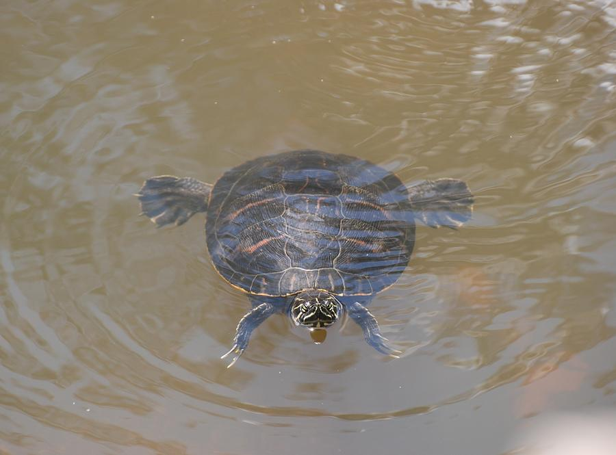 Water Photograph - The Swimming Turtle by Rob Hans