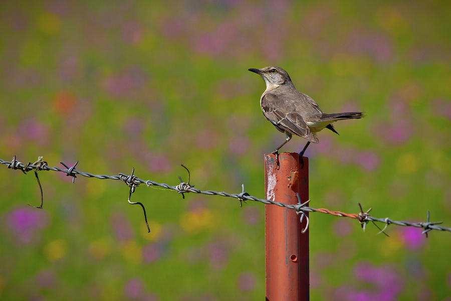 the texas state bird photograph by linda unger