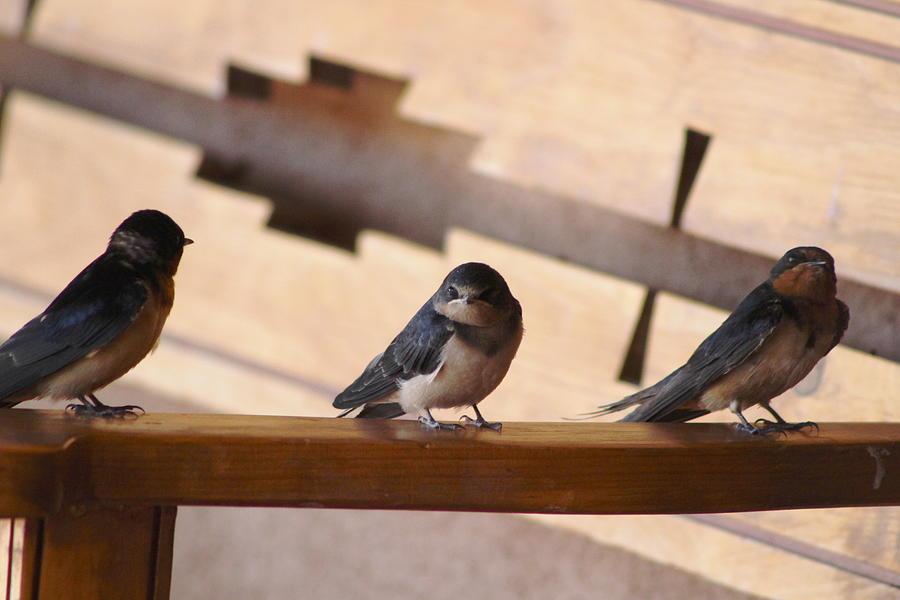 Swallow Photograph - The Three Amigos by Colleen Cornelius