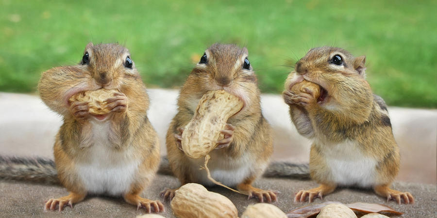 Chipmunk Photograph - The Three Stooges by Lori Deiter